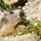 Alpine marmot