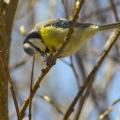 Blue Tit / Parus caeruleus