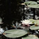 Water lily in a pond in Waldviertel region