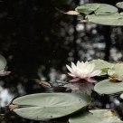Water lily in a pond in Waldviertel region