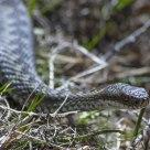 Hoggorm  /  common European viper / Vipera berus