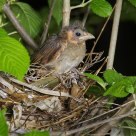 Baby Cardinal sitting on its nest