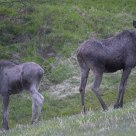 Two young moose from Lom / Norway