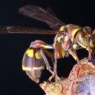 Guarding wasp