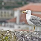 Urban seagull