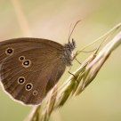 Ringlet (Aphantopus hyperantus)