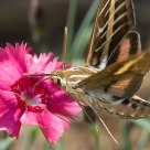 White-Lined Sphinx Hummingbird Moth