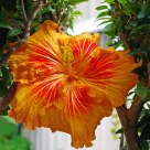 Ornate Hibiscus