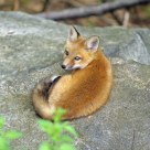 Young Fox Awoken from Deep Sleep