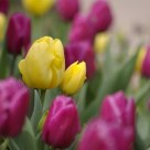 Sunny Prince and Purple Prince Tulips