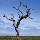 Lonely dead Cork Oak