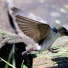 Swallow at Work