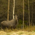 One of the many wild moose where I live. Skjåk / Norway
