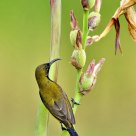 Sunbird on flowering plant