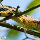 Eatern Fox Snake