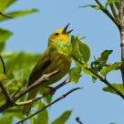 Yellow Warbler
