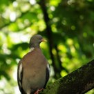 wood pigeon