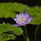 Water Lily with Damsel Fly