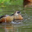 Lesser Whistling Duck taking shower