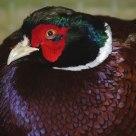 Faisan Bird