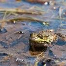 Frog again