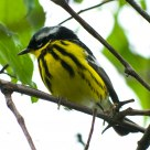 Magnolia Warbler