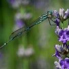 DamselFly - Wandering Ringtail (Austrolestes leda)