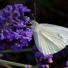 Cabbage White Butterfly on Lavende