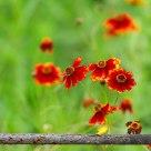 栅栏下的小花