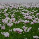 Poppy_Many