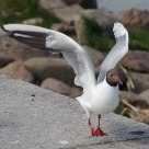 Black headed gull -- St Petsrsburg