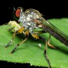 Robberfly with Dinner