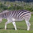 Prancing Chapman's Zebra