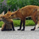 Mother fox grooming pup