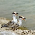 Little Terns - Synchronised!