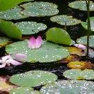 Fallen Lotus