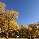 Golden Poplar