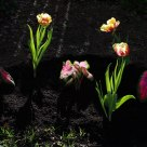 Backlit Tulips and Caladium