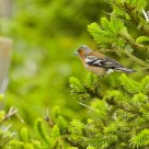 Fringilla coelebs / Chaffinch