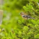Fringilla coelebs / Chaffinch
