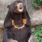 Sumatran bear