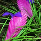 Pink Quill