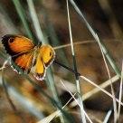 Caza de mariposa
