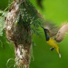 Sunbird and his nest