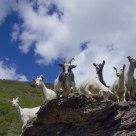 Curious goats!