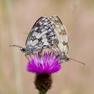 Mating Marbled White Butterflies