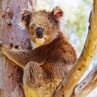 widelife koala