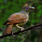 satin bowerbird(Female)