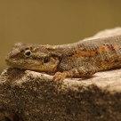 African Salamander