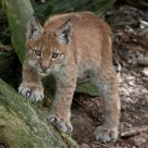 look... young lynx